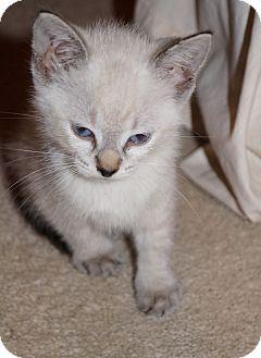 Siamese Kitten for adoption in Jacksonville, Florida - Venus