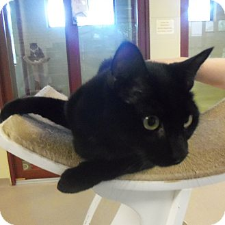 Domestic Shorthair Cat for adoption in Slidell, Louisiana - Baguera