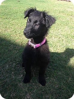 Labrador Retriever/Flat-Coated Retriever Mix Puppy for adoption in Largo, Florida - Jill