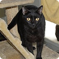 American Shorthair Cat for adoption in Jackson, Mississippi - Claude