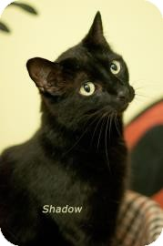 Domestic Shorthair Cat for adoption in West Des Moines, Iowa - Shadow