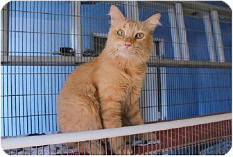 Domestic Mediumhair Cat for adoption in Newport Beach, California - Logan