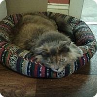 Adopt A Pet :: Goldilocks - Portland, ME