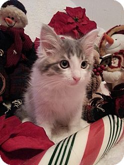 Domestic Longhair Kitten for adoption in Tillamook, Oregon - Cotton Candy