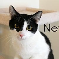 Domestic Shorthair Cat for adoption in Wichita Falls, Texas - Neff