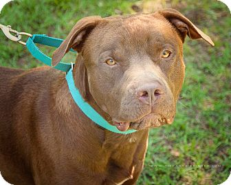 American Staffordshire Terrier/Labrador Retriever Mix Dog for adoption in Portland, Oregon - Loki