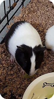Guinea Pig for adoption in Umatilla, Florida - Bacon Bits