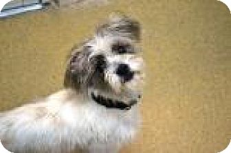 Shih Tzu/Terrier (Unknown Type, Small) Mix Dog for adoption in Miami, Florida - Timmy