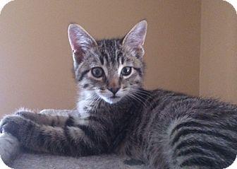 Domestic Mediumhair Kitten for adoption in Corona, California - TIMMY