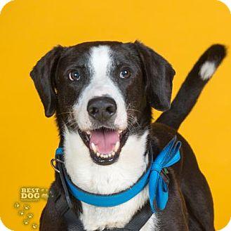 Labrador Retriever Mix Dog for adoption in Northbrook, Illinois - Blade