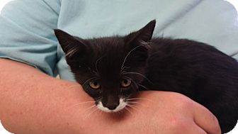 Domestic Shorthair Kitten for adoption in Cody, Wyoming - Florence