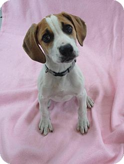 Coonhound/Boxer Mix Puppy for adoption in Pleasant Plain, Ohio - Hart