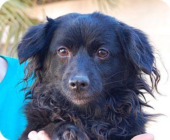 Dachshund/Corgi Mix Dog for adoption in Las Vegas, Nevada - Kona