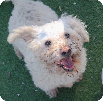 Bichon Frise Mix Dog for adoption in San Pablo, California - CHIP