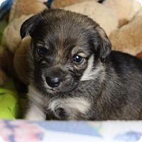 Adopt A Pet :: Colette - Minneapolis, MN