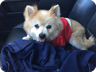 Pomeranian Mix Dog for adoption in Homestead, Florida - Peluche