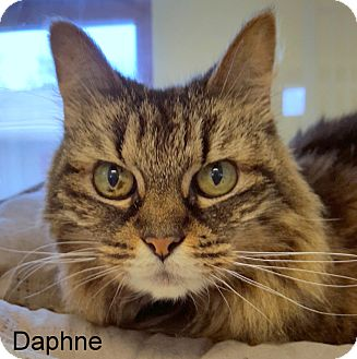 Domestic Longhair Cat for adoption in Slidell, Louisiana - Daphne