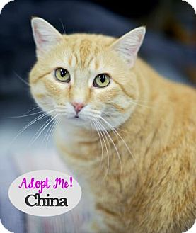 Domestic Shorthair Cat for adoption in West Des Moines, Iowa - China