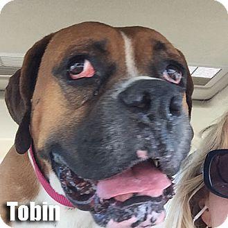 Boxer Dog for adoption in Encino, California - Tobin