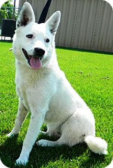 Blue Heeler/Dalmatian Mix Dog for adoption in Columbus, Nebraska - Alice