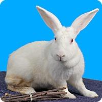 Adopt A Pet :: BellaClaire - Marietta, GA