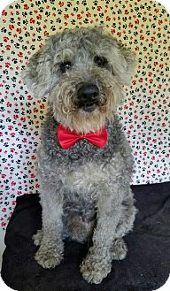 Poodle (Miniature) Mix Dog for adoption in San Antonio, Texas - Spencer