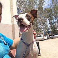 Adopt A Pet :: Lexie - El Centro, CA