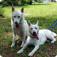 Adopt A Pet :: Stella - New Smyrna Beach, FL