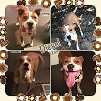 Adopt A Pet :: Diesel - East Hartford, CT