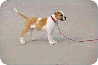 American Bulldog Puppy for adoption in Ridgeville, South Carolina - Cami