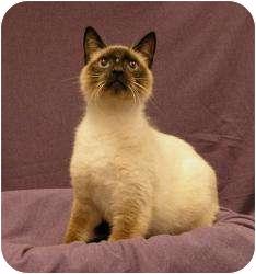 Snowshoe Cat for adoption in Sacramento, California - Spencer