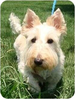 Scottie, Scottish Terrier Dog for adoption in Harrisonburg, Virginia - Duffie