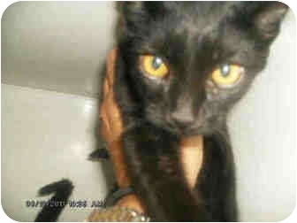 Domestic Shorthair Cat for adoption in Yuba City, California - Unnamed