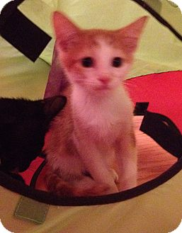 American Shorthair Kitten for adoption in Palatine, Illinois - Twix