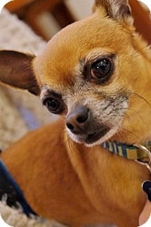 Chihuahua Dog for adoption in AUSTIN, Texas - QUINT