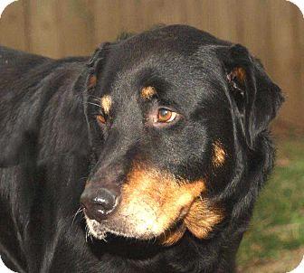 Labrador Retriever/Rottweiler Mix Dog for adoption in Salem, New Hampshire - TROOPER