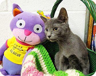 Domestic Shorthair Kitten for adoption in Trevose, Pennsylvania - Fannie Mae