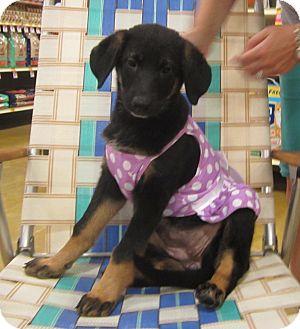 Border Collie/Shepherd (Unknown Type) Mix Puppy for adoption in Loxahatchee, Florida - BEAR