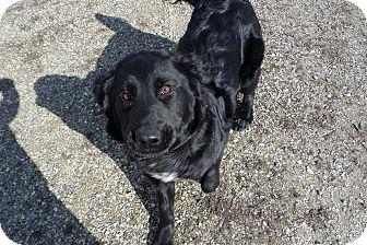 Golden Retriever/Labrador Retriever Mix Dog for adoption in Chewelah, Washington - Mesa