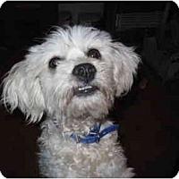 Adopt A Pet :: Tilly - Albuquerque, NM