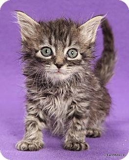Domestic Mediumhair Kitten for adoption in Las Vegas, Nevada - Zola