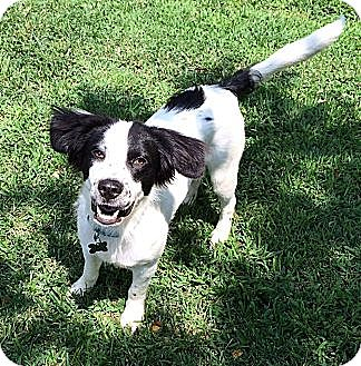 Spaniel (Unknown Type) Mix Dog for adoption in Jersey City, New Jersey - Mickey Rooney