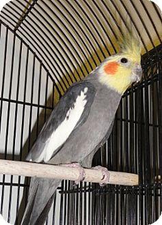 Cockatiel for adoption in Grandview, Missouri - Don Juan