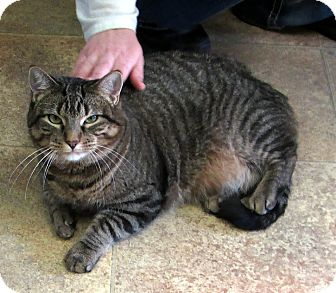 Domestic Shorthair Cat for adoption in Albion, New York - Lily