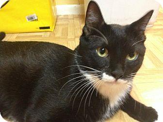 Domestic Shorthair Cat for adoption in Long Beach, New York - Vinnie