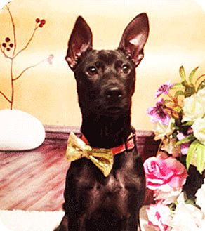 Labrador Retriever Mix Puppy for adoption in Castro Valley, California - Lorissa