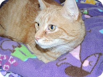 Domestic Shorthair Cat for adoption in Briarcliff Manor, New York - Booby (aka BOD)
