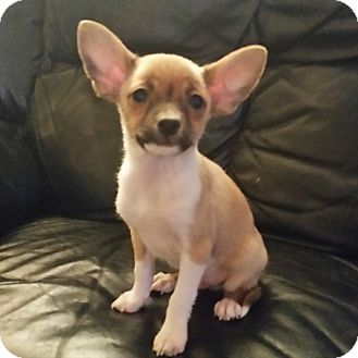 Chihuahua Mix Puppy for adoption in Chandler, Arizona - Denny