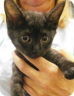 Domestic Shorthair Kitten for adoption in Cheboygan, Michigan - Sheba