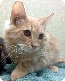 Domestic Longhair Kitten for adoption in Las Vegas, Nevada - Ralph